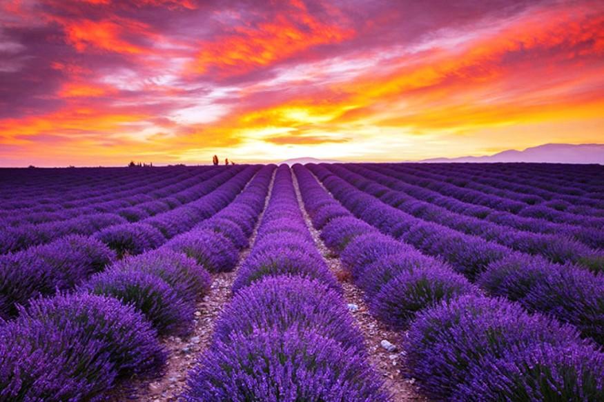 您想沉浸在紫色的海洋里吗?图片